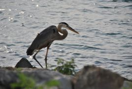 5_2015GreatBlueHeron