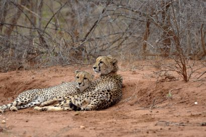 3_Tag_Cheetah08