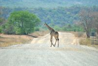11_Tag_Giraffe01