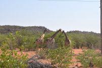 11_Tag_Giraffe02
