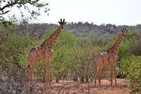 11_Tag_Giraffe03