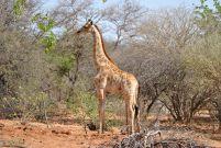 11_Tag_Giraffe05