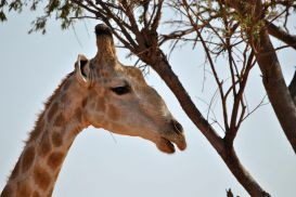 11_Tag_Giraffe06