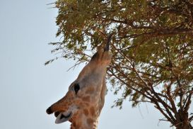 11_Tag_Giraffe07